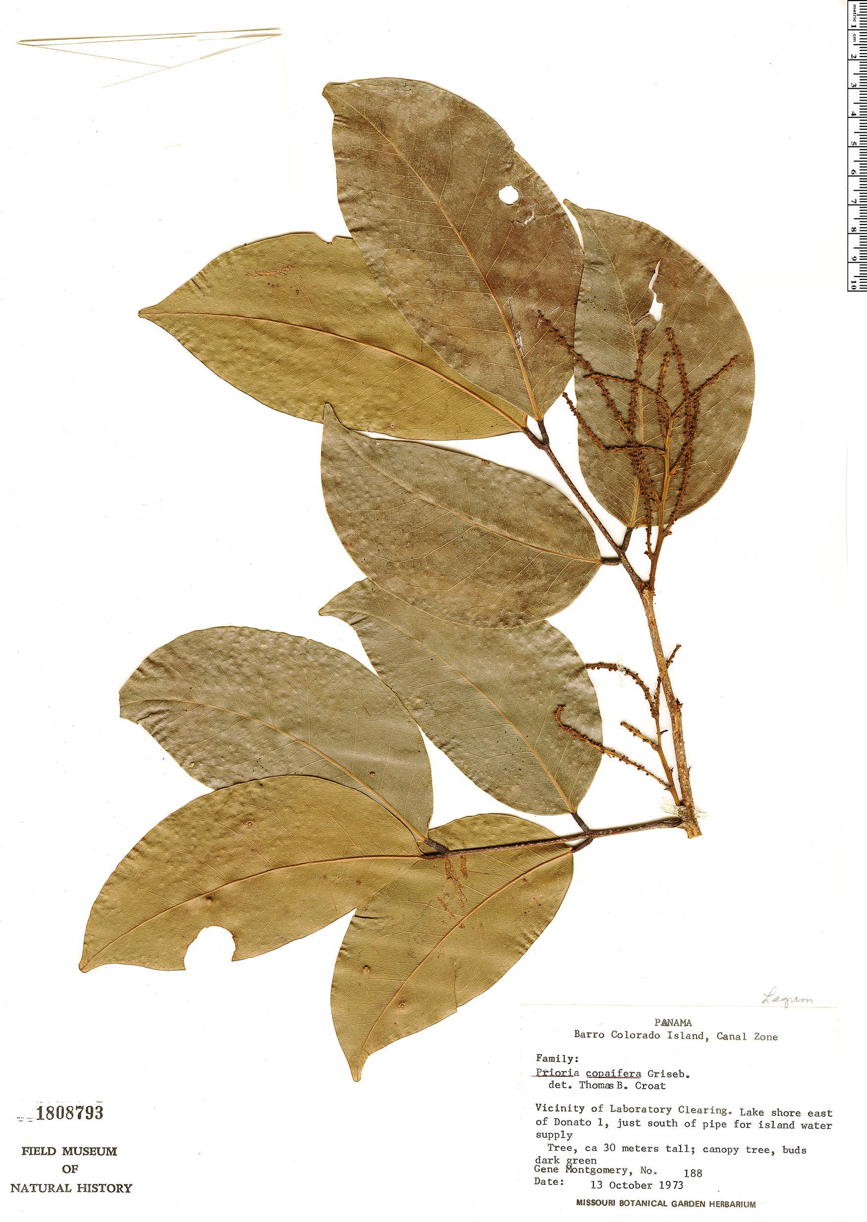 Specimen: Prioria copaifera