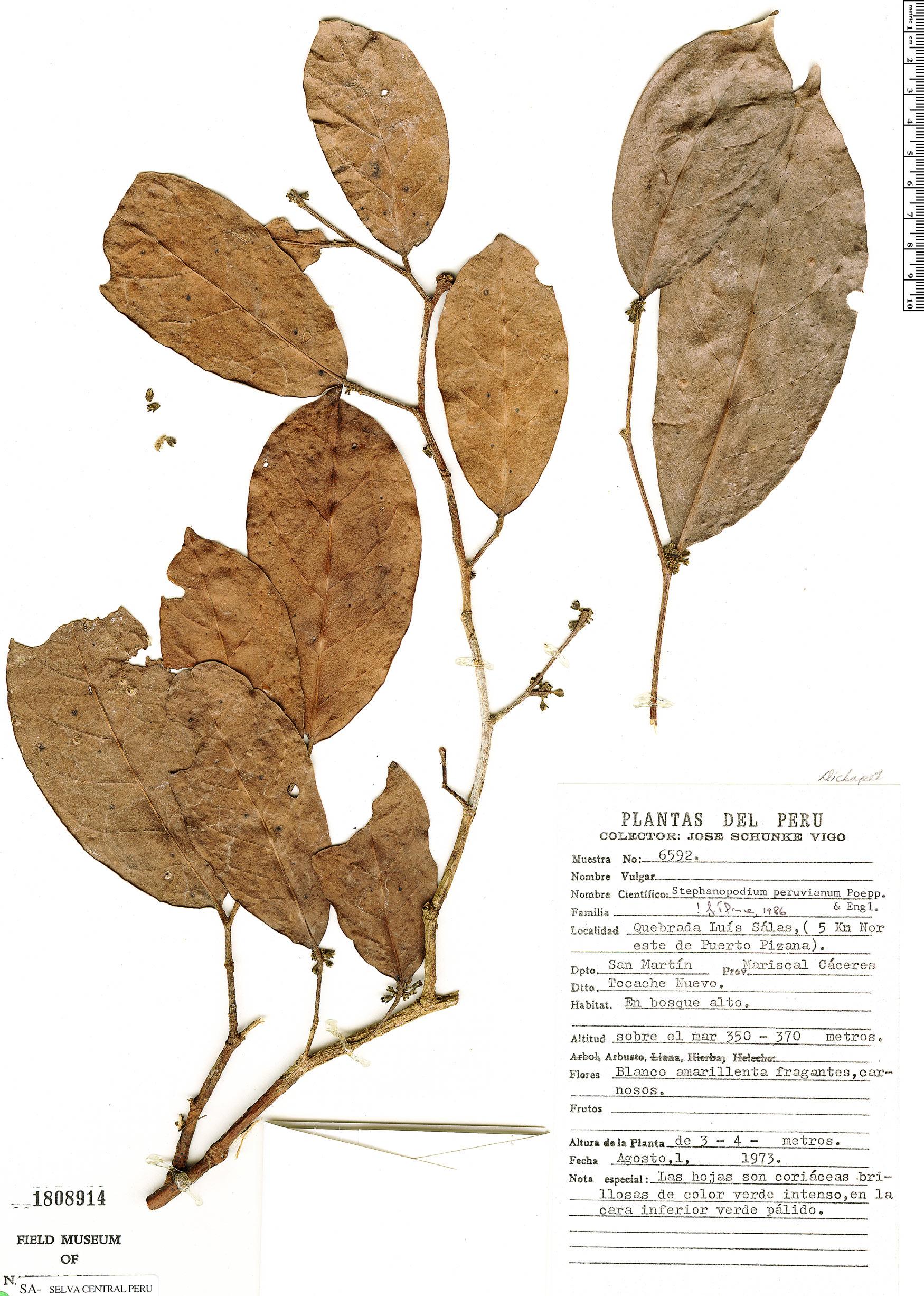 Specimen: Stephanopodium peruvianum
