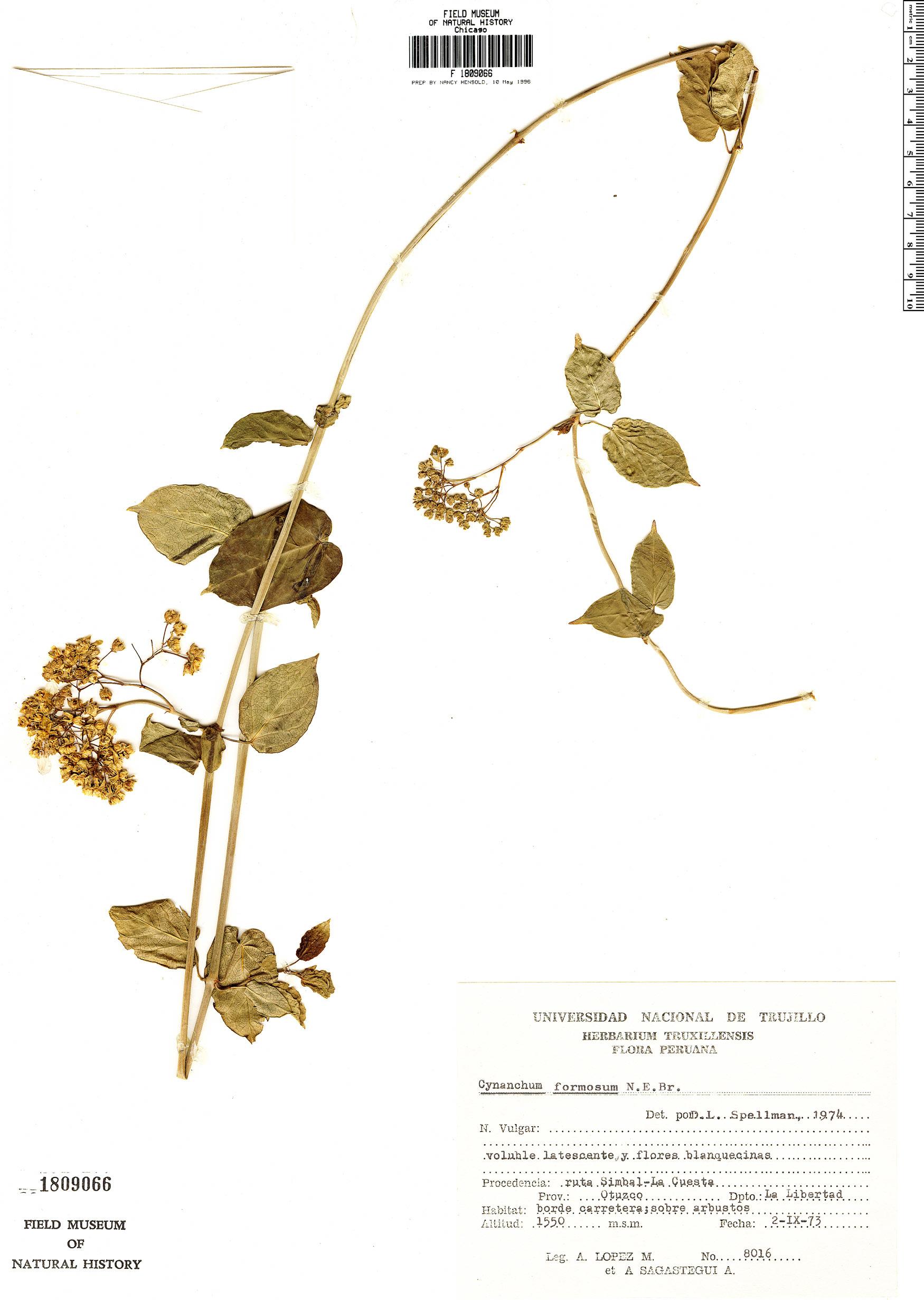 Specimen: Cynanchum formosum