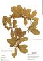 Buchenavia oxycarpa (Mart.) Eichler, Peru, M. Rimachi Y. 2513, F