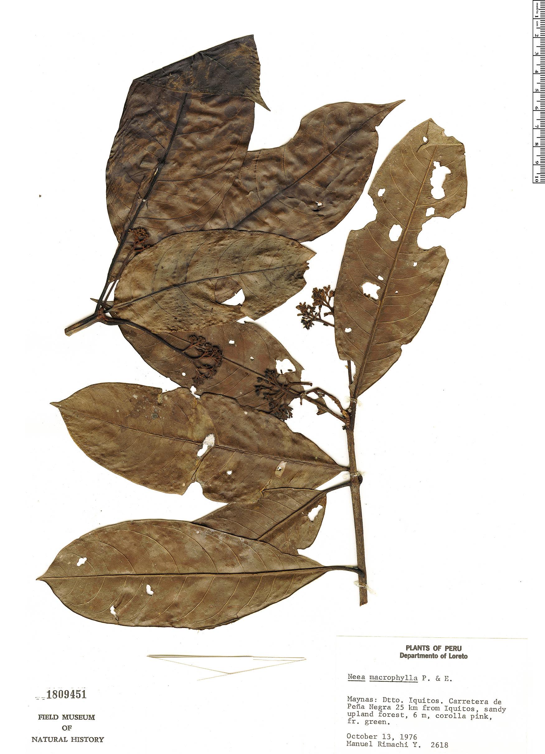 Specimen: Neea macrophylla