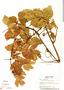 Paullinia mallophylla Radlk., Panama, T. B. Croat 14109, F