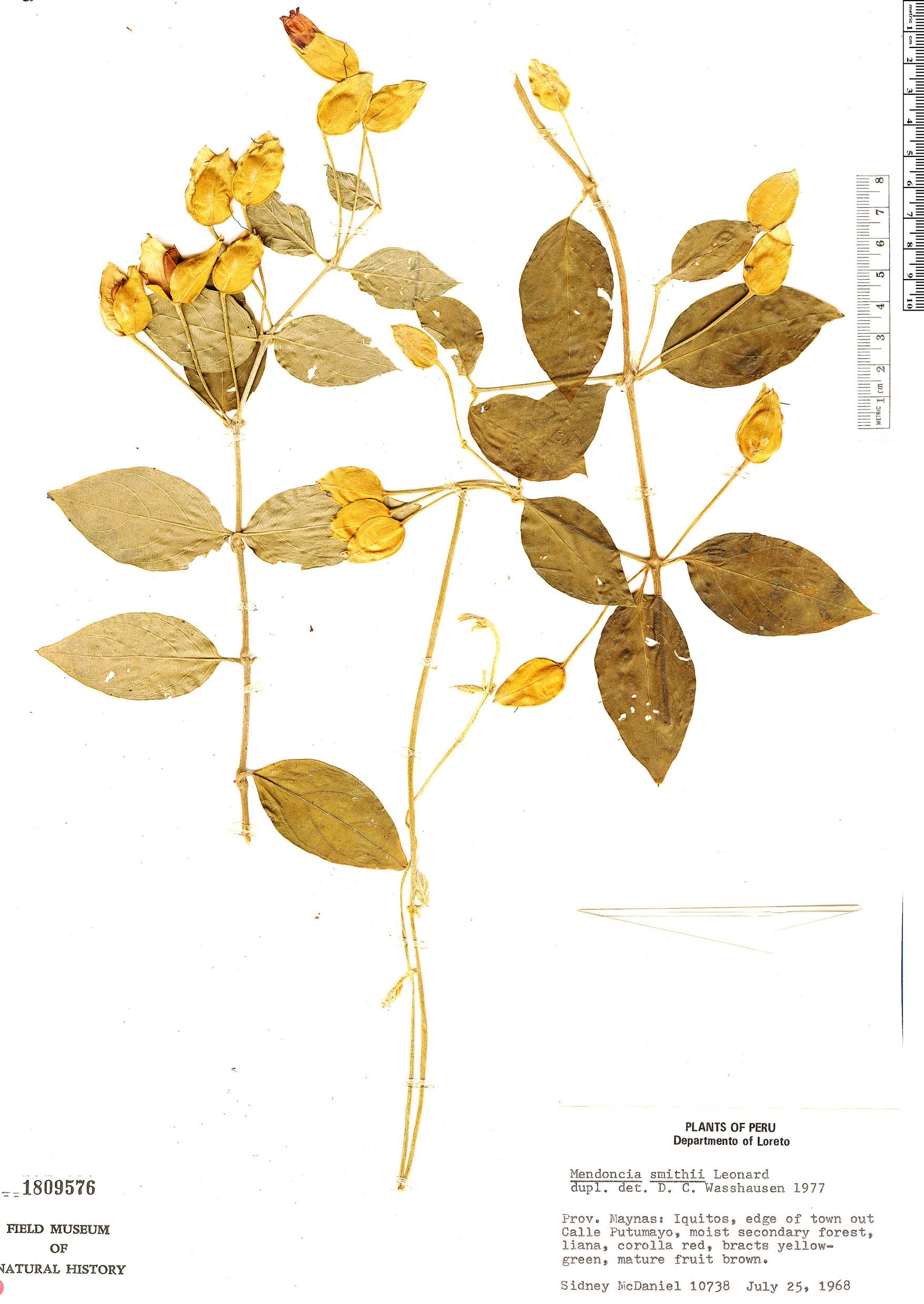 Specimen: Mendoncia smithii