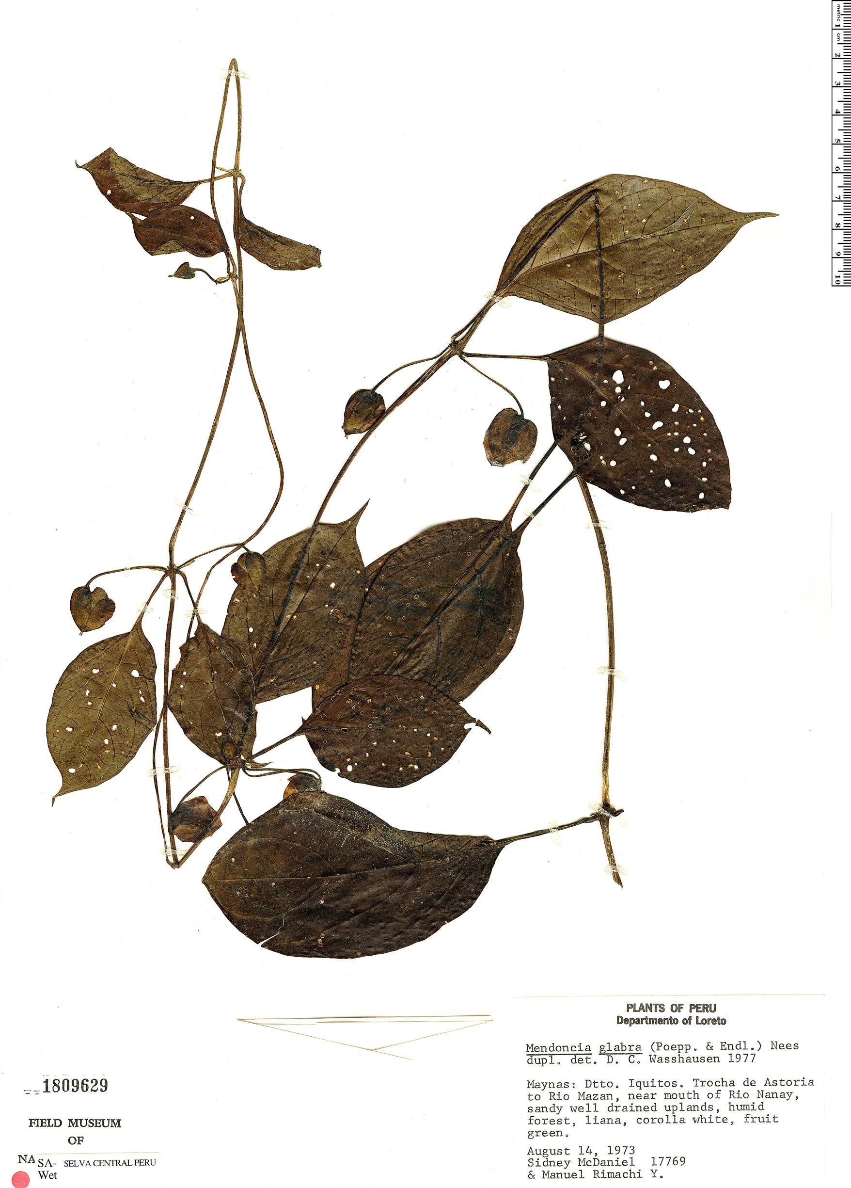 Specimen: Mendoncia glabra