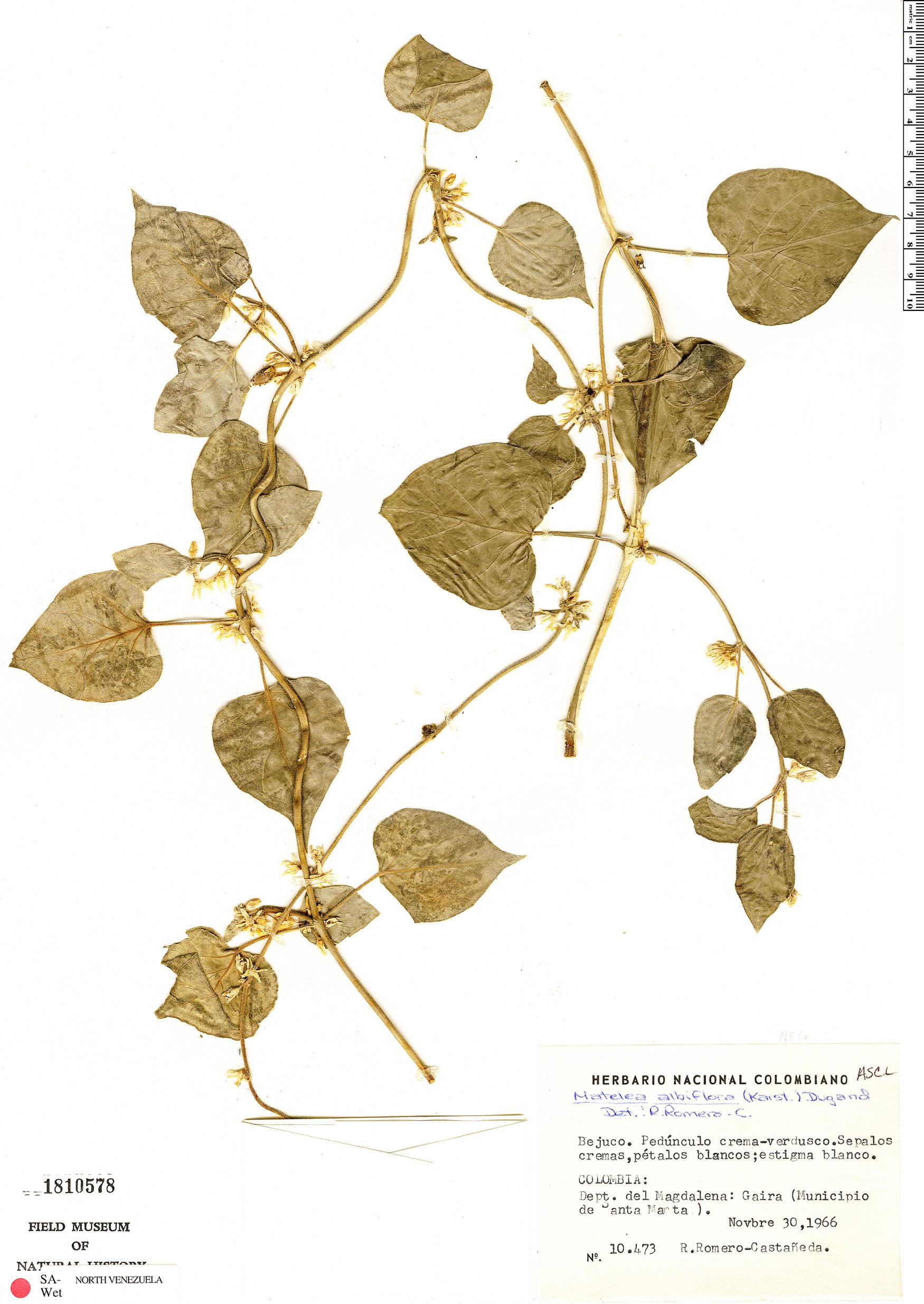 Specimen: Matelea cumanensis