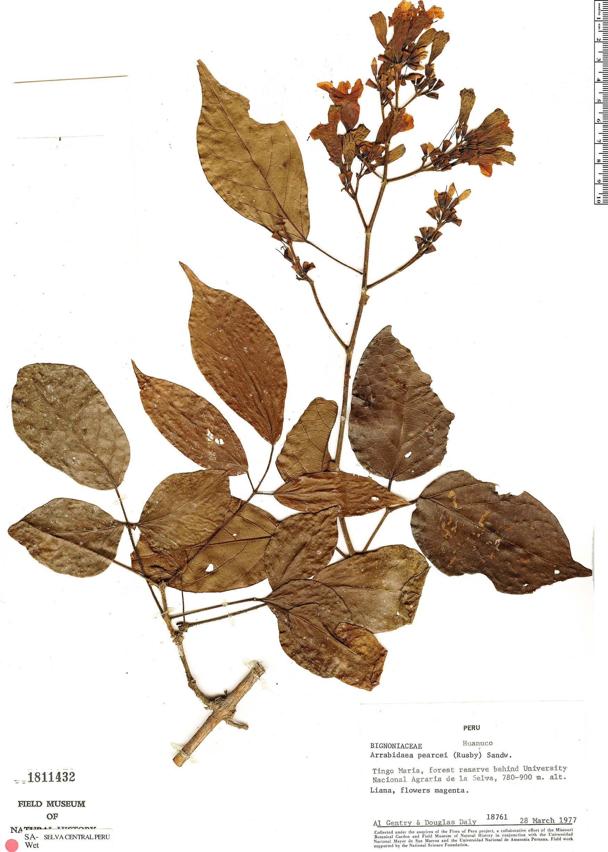 Specimen: Fridericia pearcei