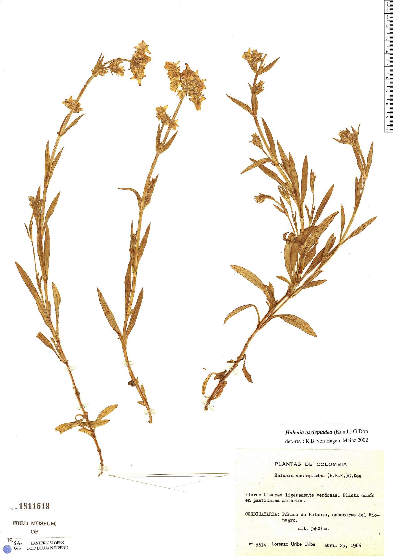 Specimen: Halenia asclepiadea