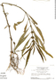 Hygrophila costata Nees, Suriname, H. S. Irwin 55484, F
