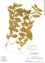 Sida glomerata, SURINAME, H. S. Irwin 55319, F