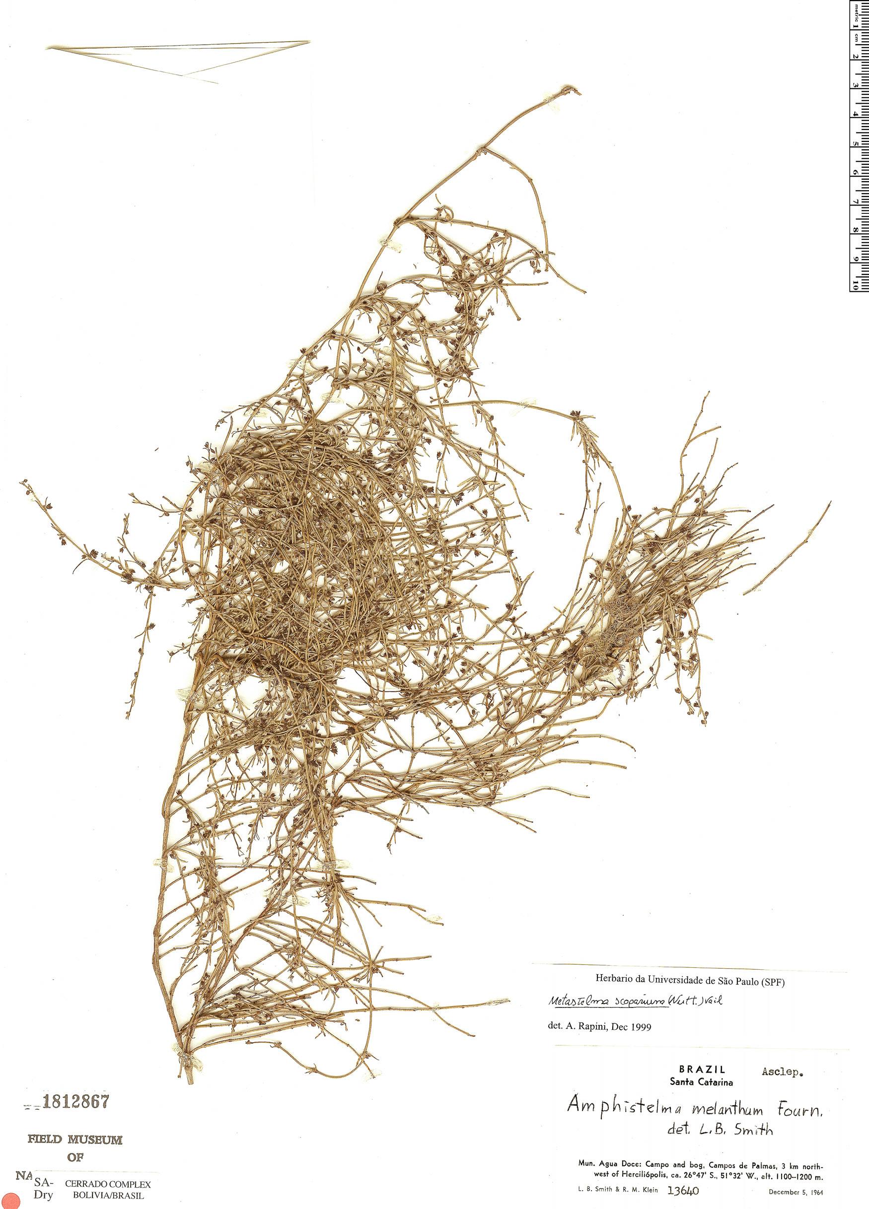 Specimen: Orthosia scoparia