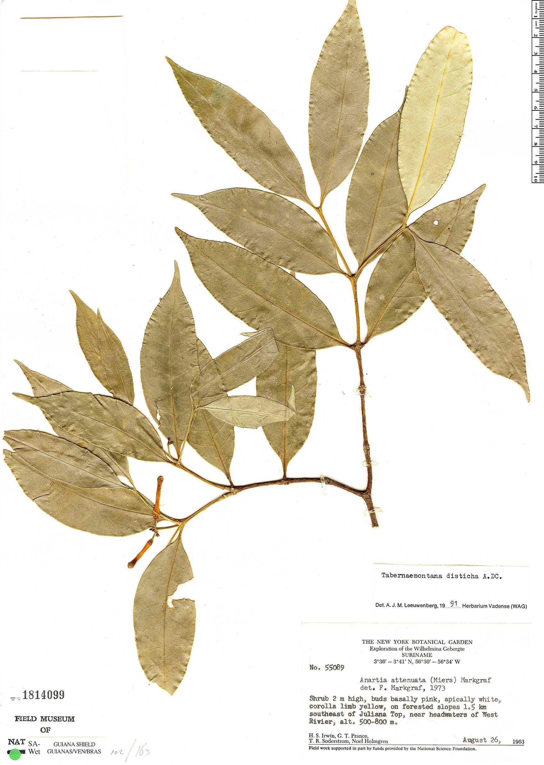 Specimen: Tabernaemontana disticha