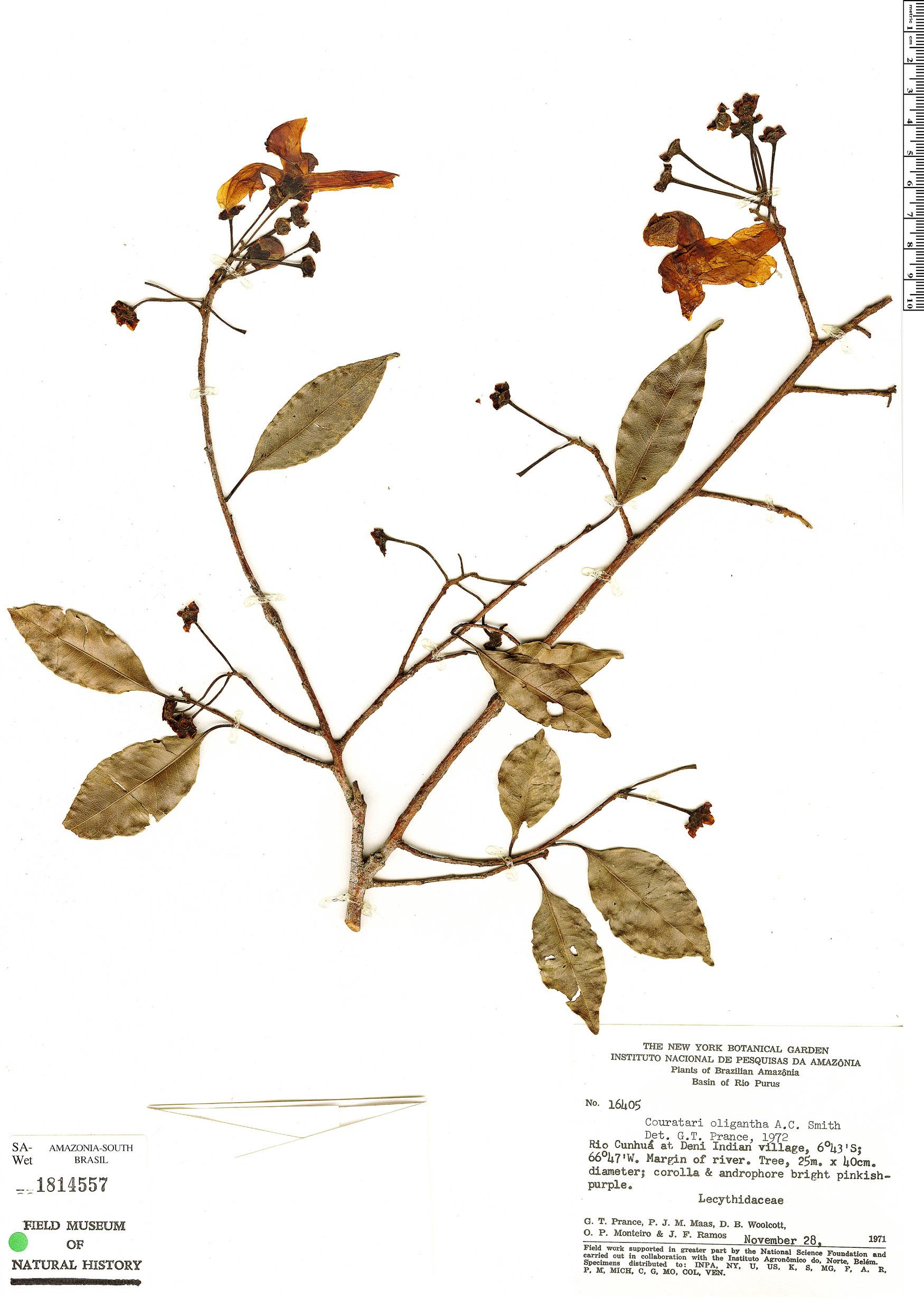 Specimen: Couratari oligantha