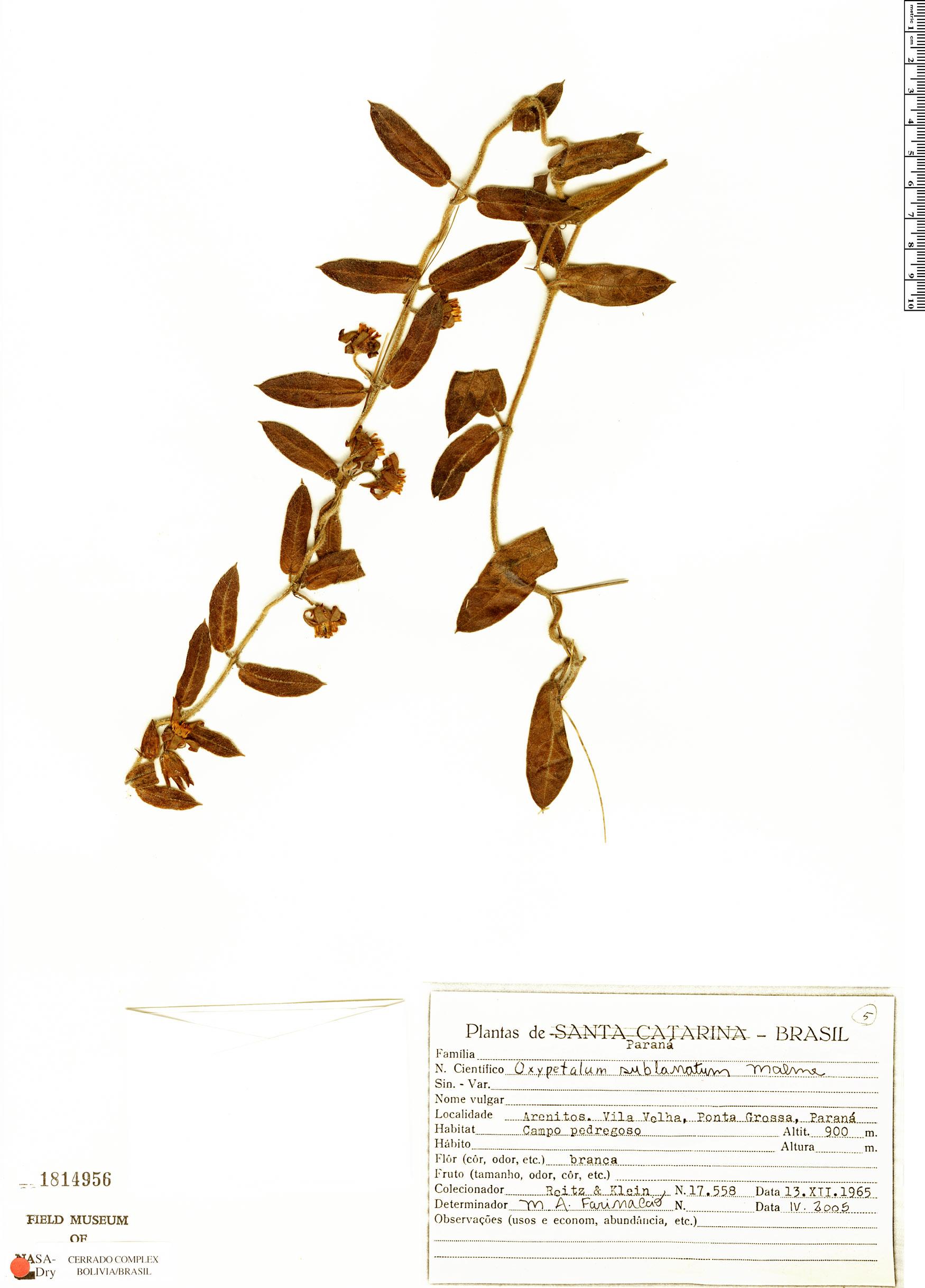 Specimen: Oxypetalum sublanatum