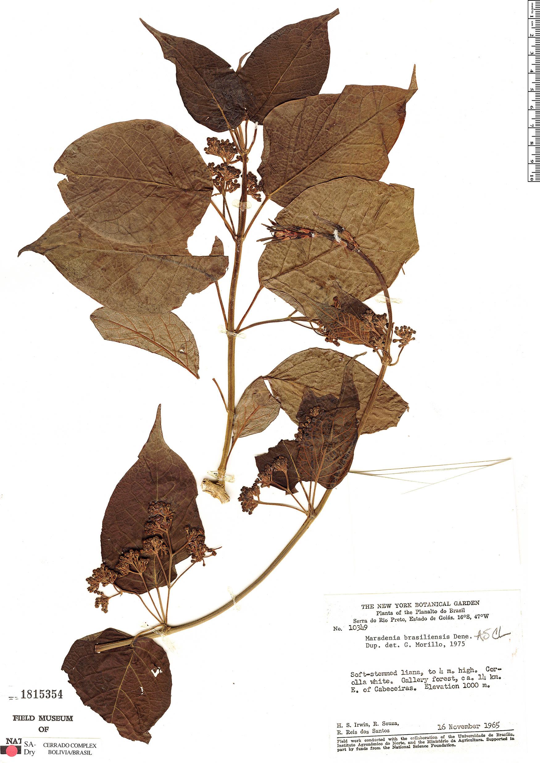 Specimen: Marsdenia brasiliensis
