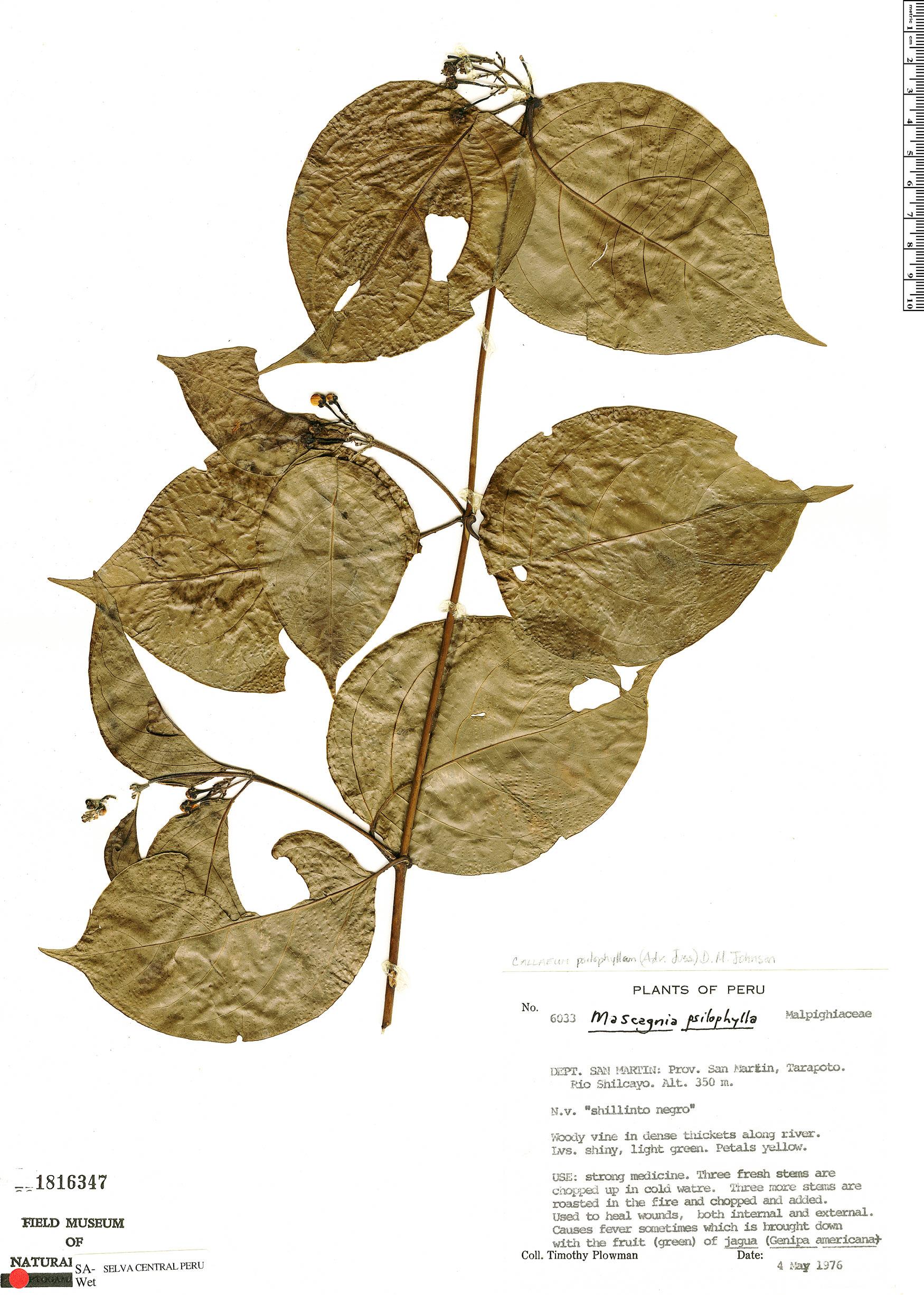 Specimen: Callaeum psilophyllum