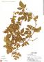 Paullinia fuscescens Kunth, Panama, T. B. Croat 9696, F