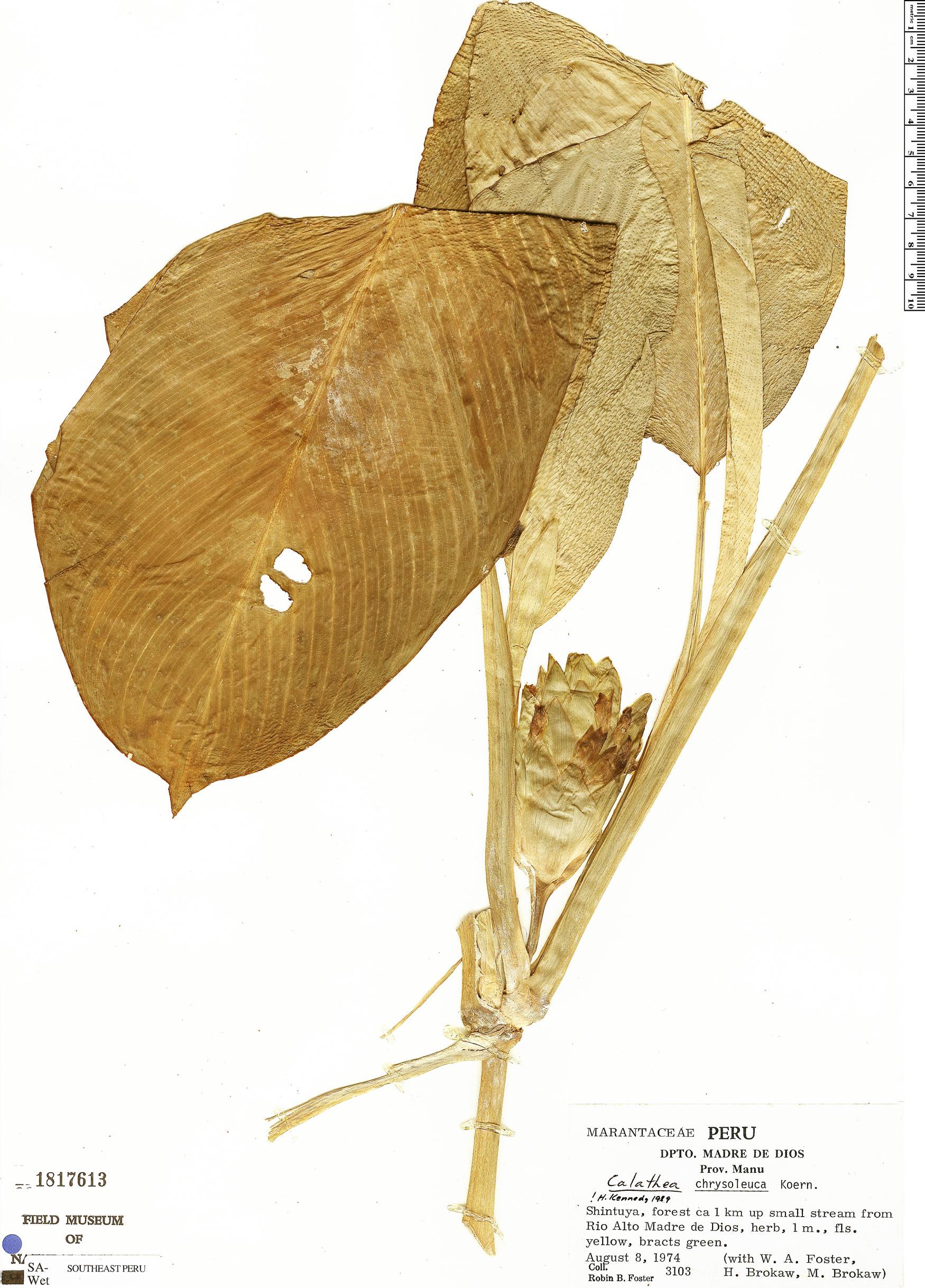 Specimen: Calathea chrysoleuca