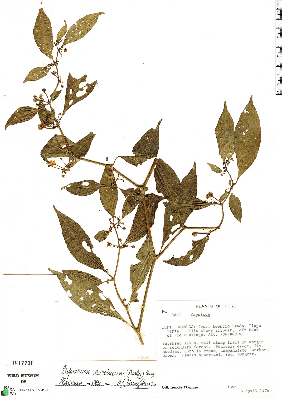 Specimen: Capsicum coccineum
