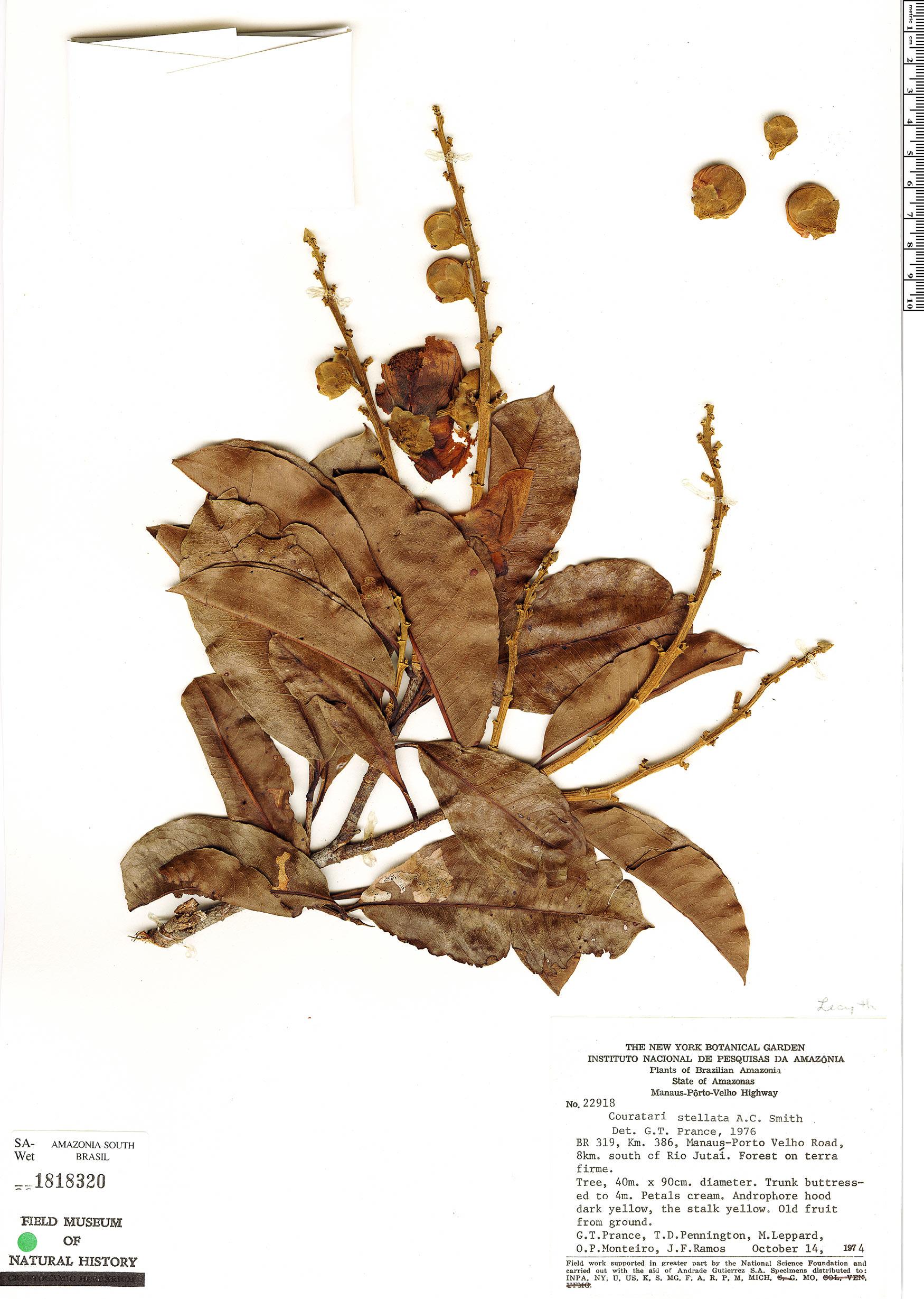 Espécime: Couratari stellata