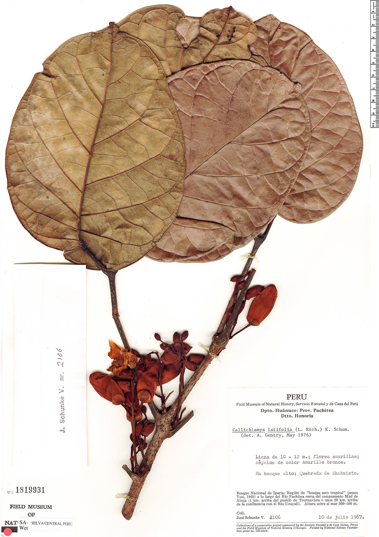Specimen: Callichlamys latifolia