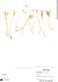 Voyria corymbosa subsp. alba (Standl.) Ruyters & Maas, Panama, A. H. Gentry 6296, F