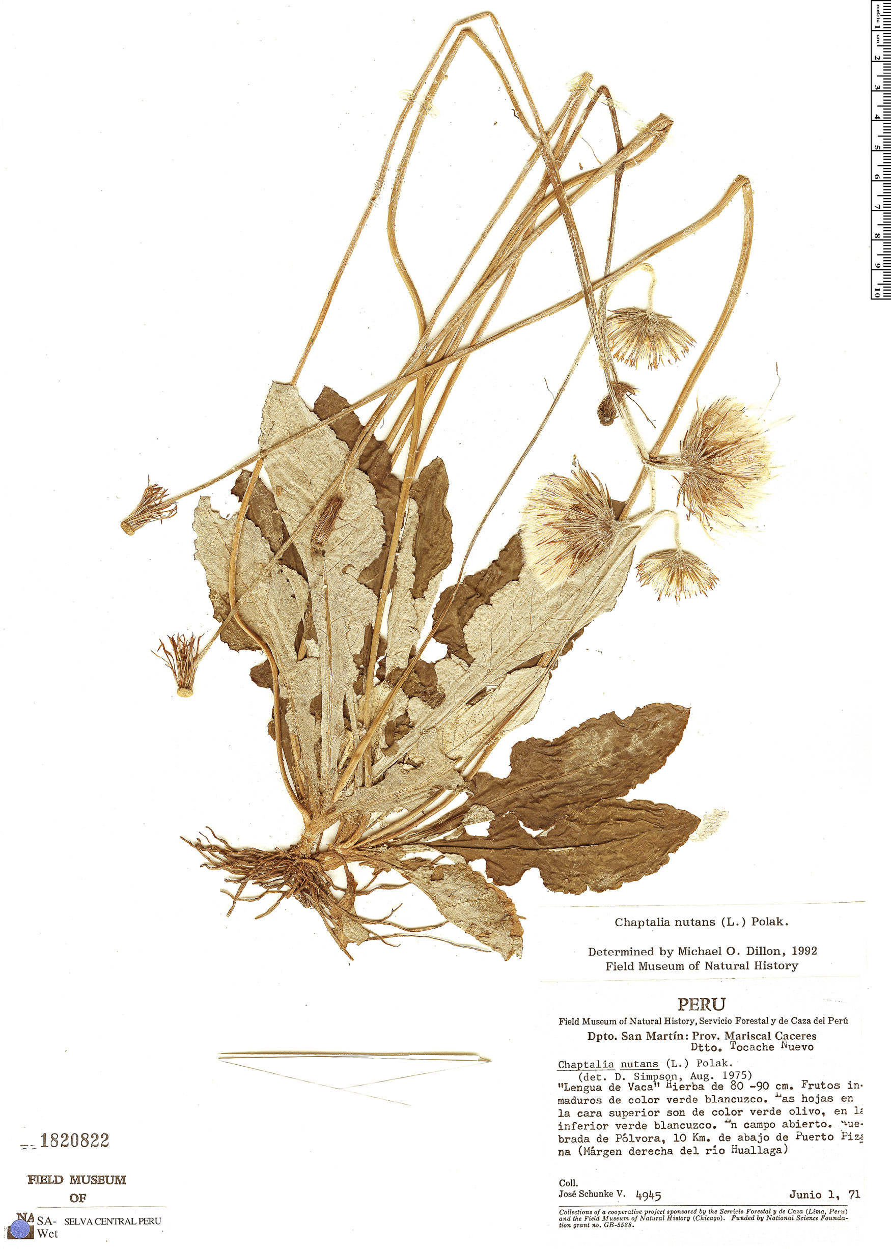 Specimen: Chaptalia nutans
