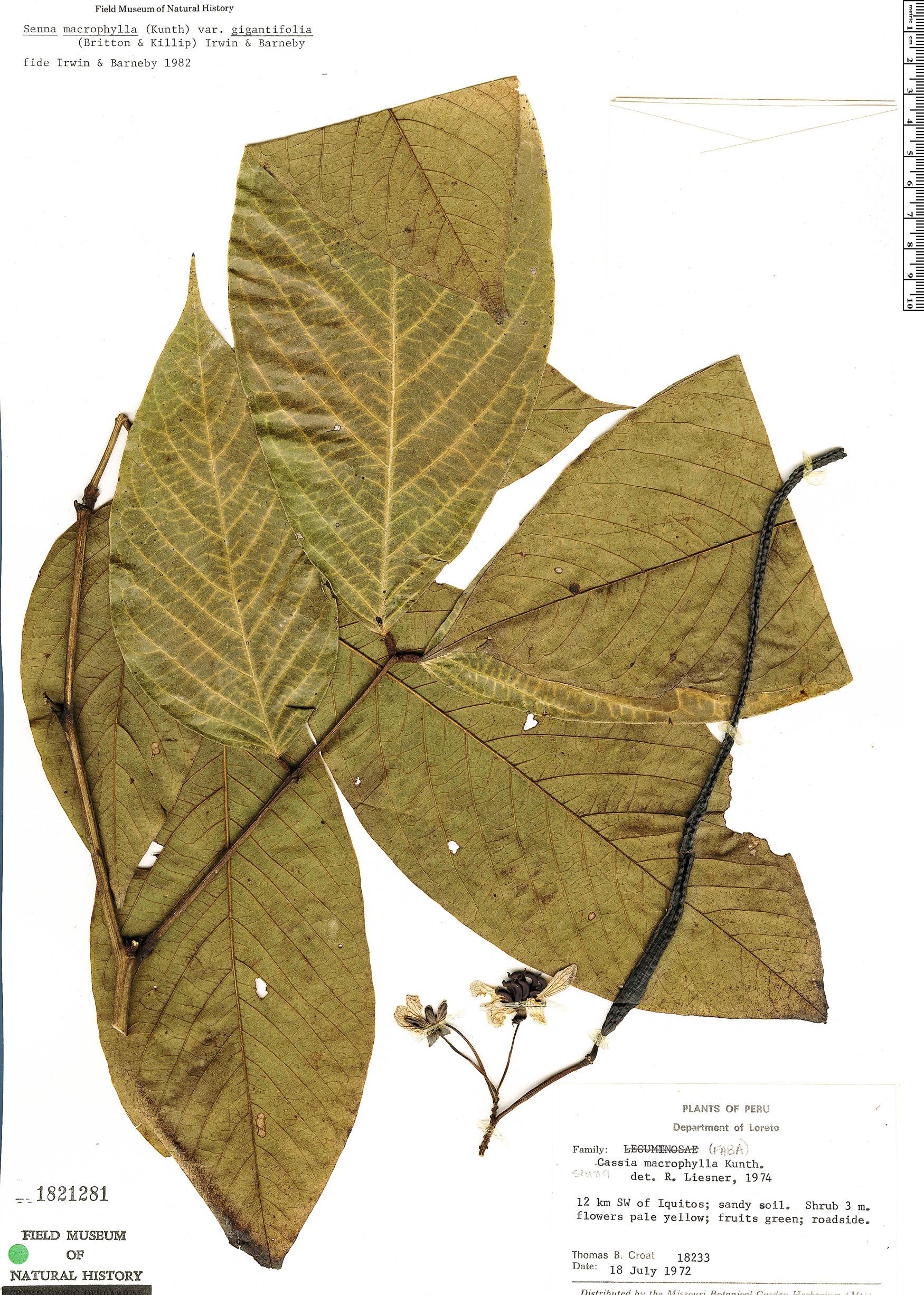 Specimen: Senna macrophylla