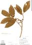 Ficus trigona L. f., Peru, T. B. Croat 20808, F