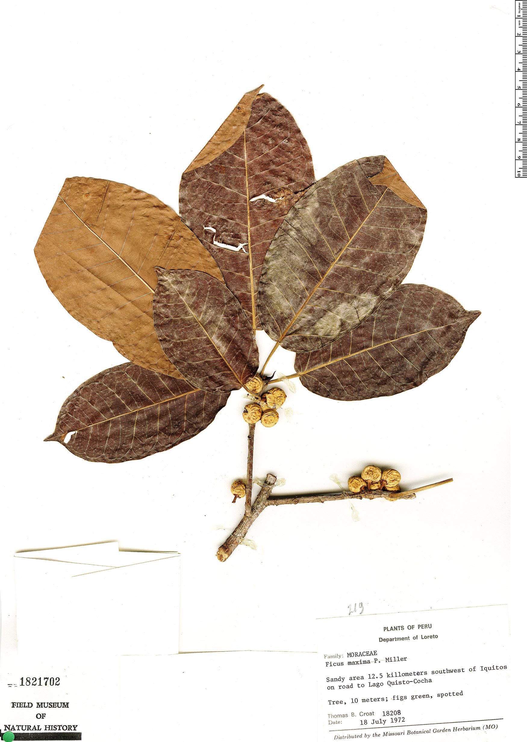Specimen: Ficus citrifolia