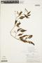 Solanum cochabambense Bitter, PERU, A. H. Gentry 19419, F