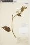 Solanum cochabambense Bitter, PERU, T. Mercantil 1949, F