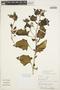 Solanum fragile Wedd., PERU, J. C. Solomon 2878, F