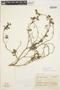 Solanum fragile Wedd., PERU, J. J. Soukup 4618, F