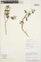Solanum fragile Wedd., PERU, P. Nuñez V. 7865, F