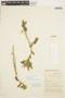 Solanum fragile Wedd., PERU, D. B. Stafford 815, F
