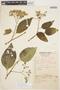 Solanum cochabambense Bitter, PERU, 777, F