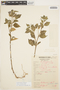 Solanum cochabambense Bitter, PERU, 742, F