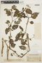 Solanum cochabambense Bitter, PERU, Featherstone 1630, F