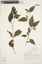 Solanum cochabambense Bitter, PERU, J. L. Luteyn 5443, F