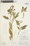 Solanum cochabambense Bitter, PERU, P. C. Hutchinson 2469, F