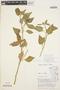 Solanum cochabambense Bitter, PERU, H. H. Iltis 779, F