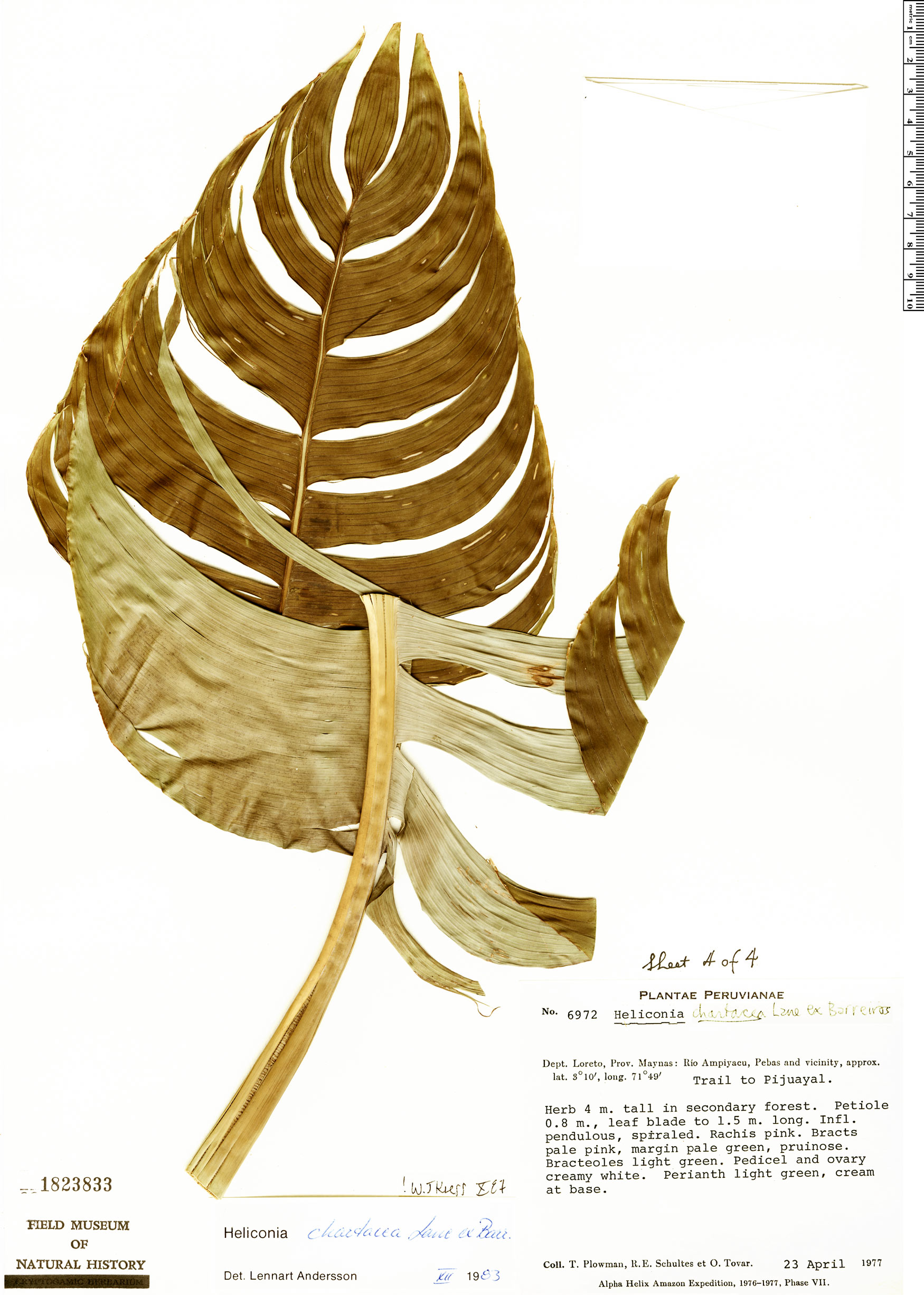 Specimen: Heliconia chartacea