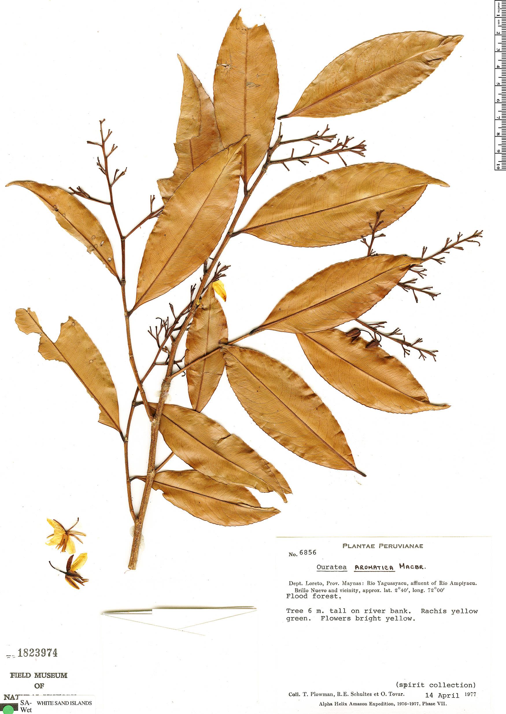 Specimen: Ouratea aromatica