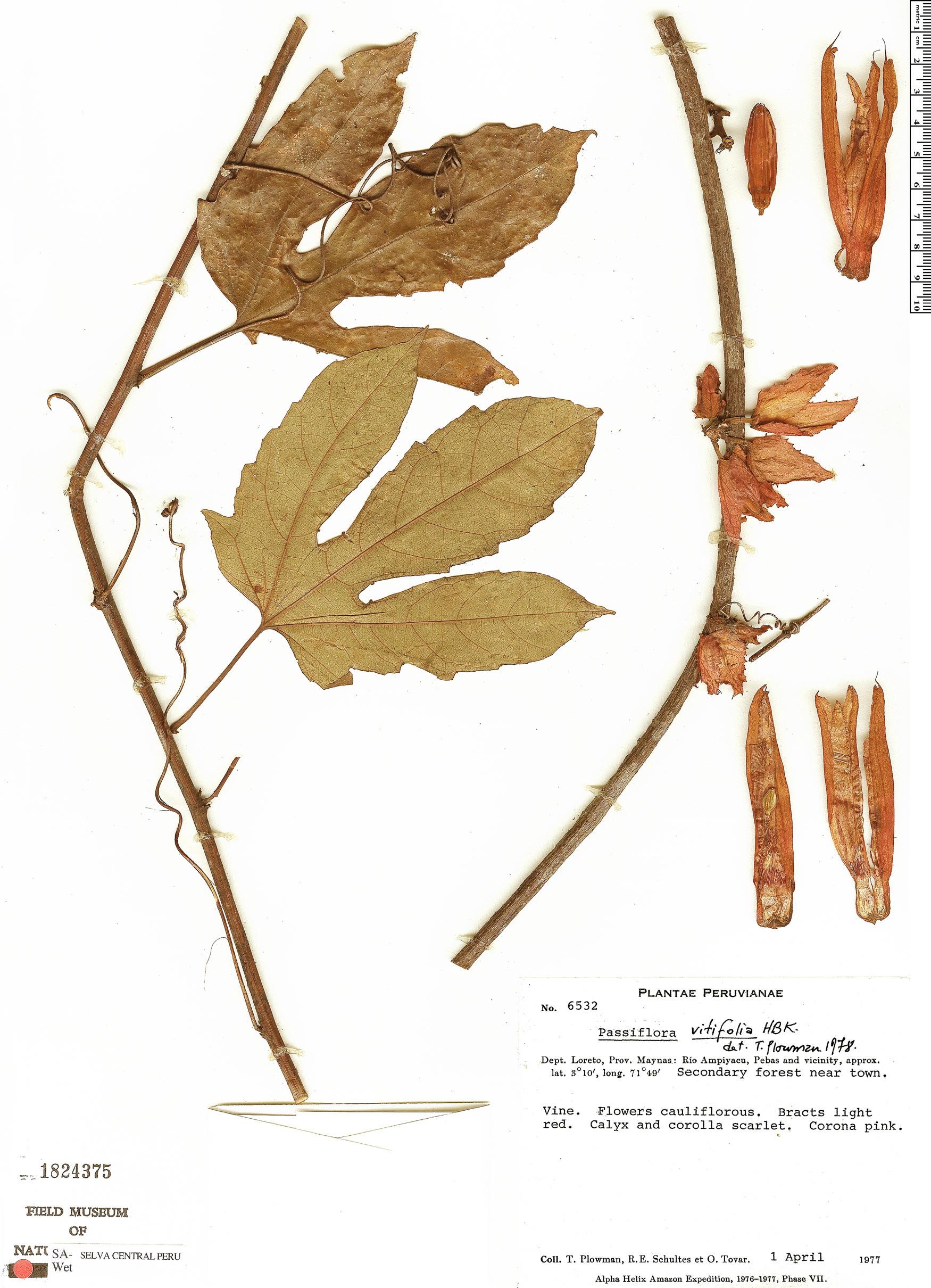 Specimen: Passiflora vitifolia