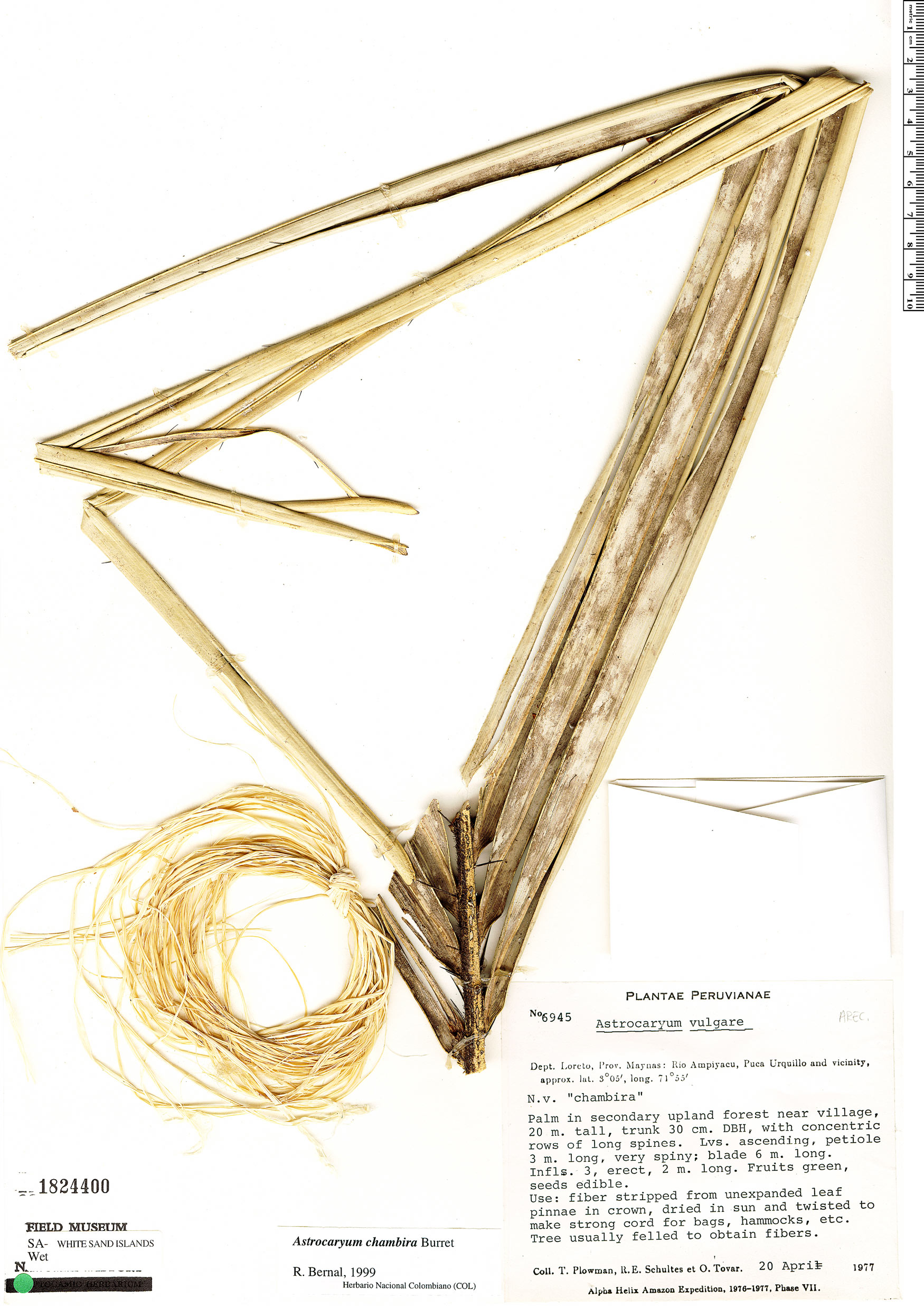 Specimen: Astrocaryum chambira