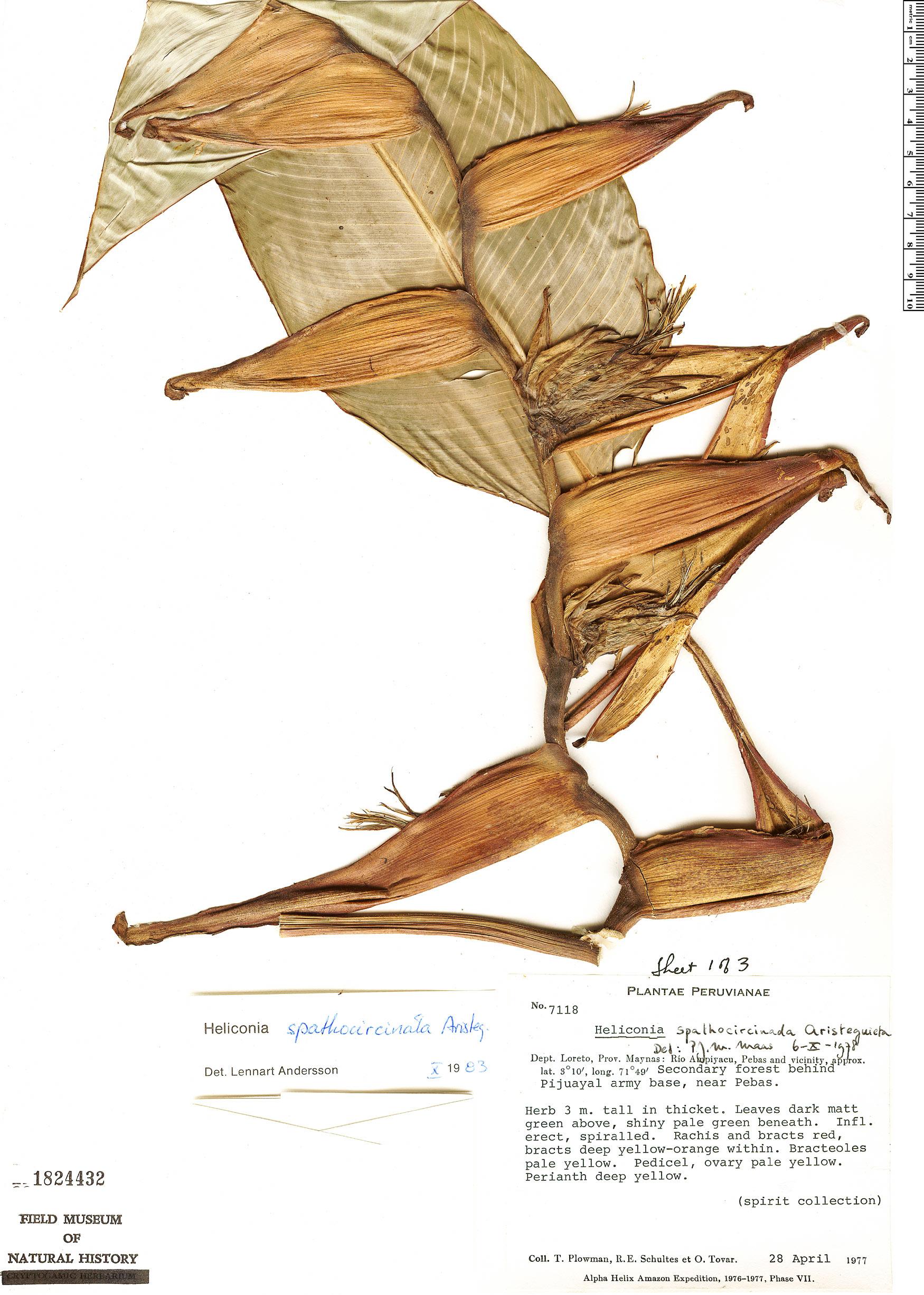 Specimen: Heliconia spathocircinata