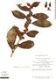 Drymonia anisophylla L. E. Skog & L. P. Kvist, Peru, T. C. Plowman 6781, F