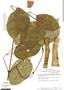 Tynanthus panurensis (Bureau) Sandwith, Peru, T. C. Plowman 6706, F