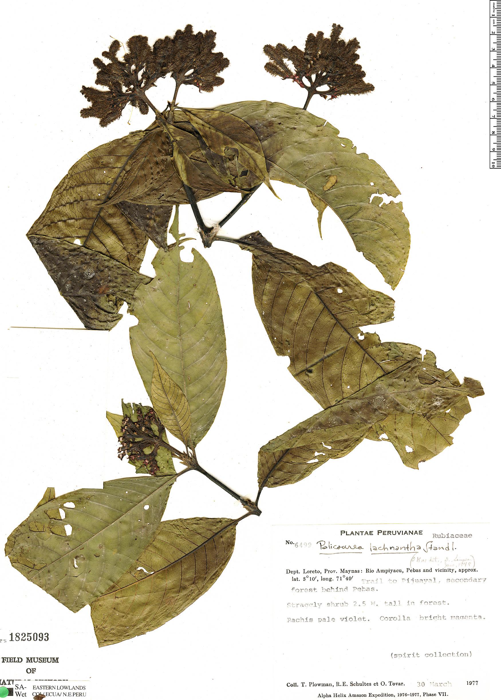 Specimen: Palicourea lachnantha