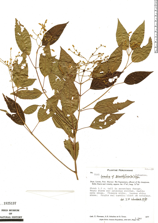 Specimen: Leandra secundiflora